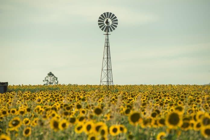 Sonnenblumenfeld an einem Sommertag in Deutschland