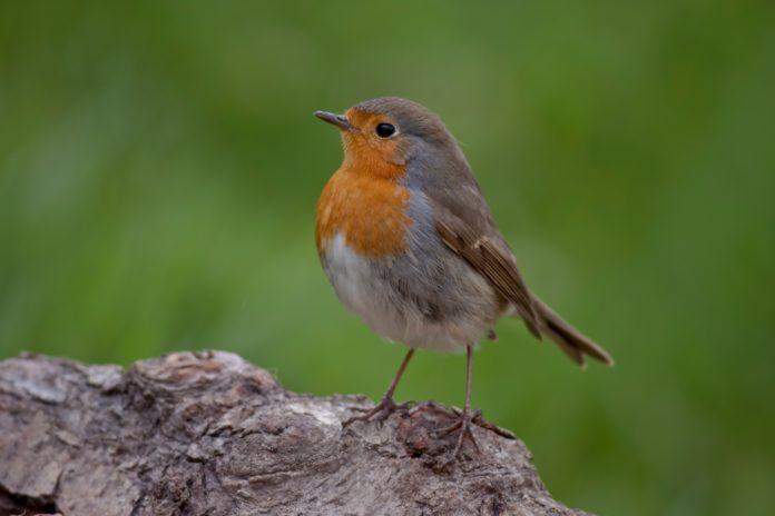 Ein Rotkehlchenvogel gesichtet im Wald
