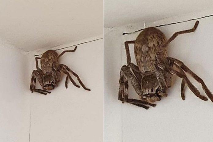Frau entdeckt Monster-Spinne beim Duschen