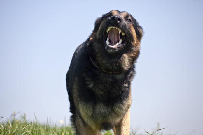 Aggressiver Hund Rennt frontal ihr Hund Greift ein