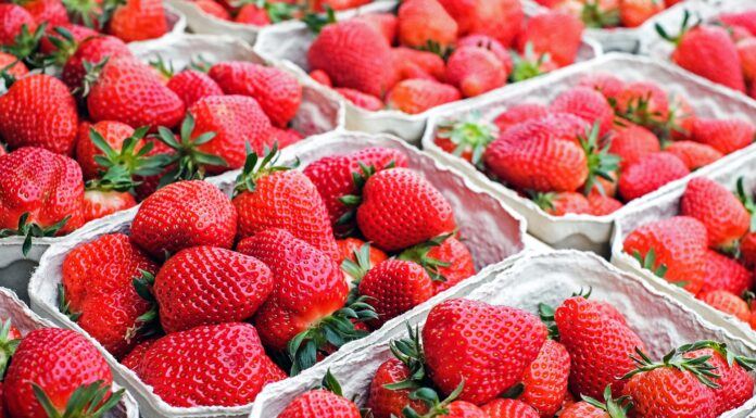 Erdbeeren die geerntet wurden