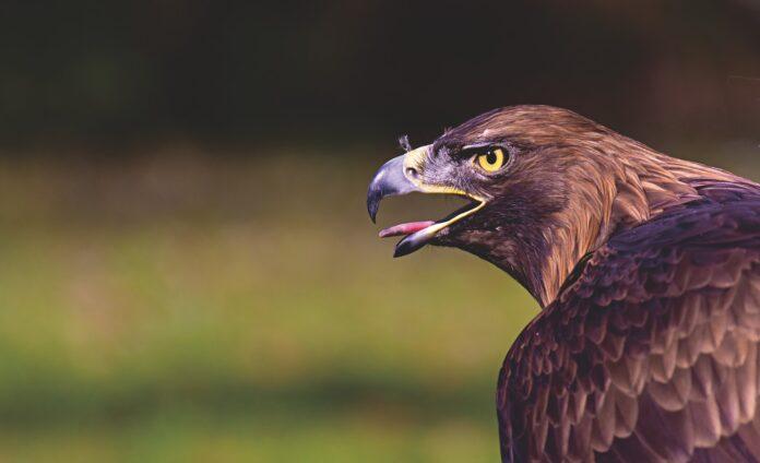 Greifvogel Adler