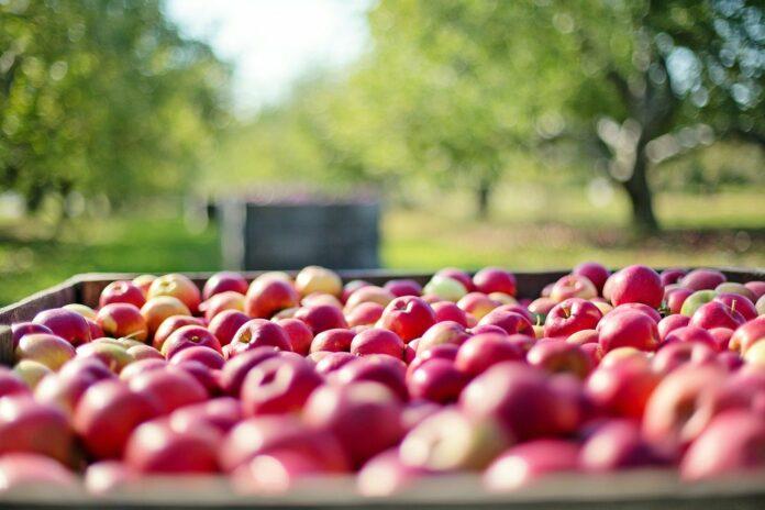 Laster voller Äpfel für die Ernte