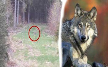 Wolfsichtung im Wald