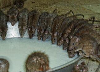 Ratten-Befall