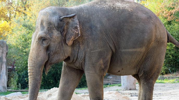 Elefantendame Saida im Karlsruher Zoo